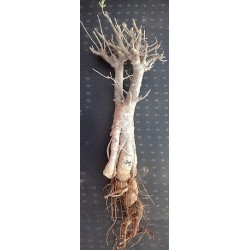 Baobab of Senegal 6 yrs, 1, 3kg, H:55, l:8