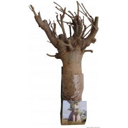 1 x Kit Baobabafrica Bonsai  B15 (photo non contractuelle) 8/9ans, 1.5kg,H:50, l:15