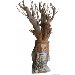 1 x Kit Baobabafrica Bonsai  B50 (photo non contractuelle) 1012ans, 5kg,H:70, l:20/25