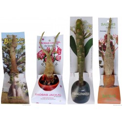 Pack3  3 Baobabs kit/3Baobabs chacal kit/3Frangipaniers 1 tête/ 3Baobabs bouddha  PM (photo non contractuelle)