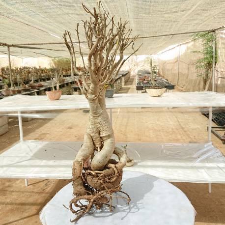 Baobab du Sénégal 6ans, 0,8kg,H:50, l:7