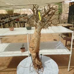 Baobab du Sénégal 6ans, 0,7kg,H:45, l:7