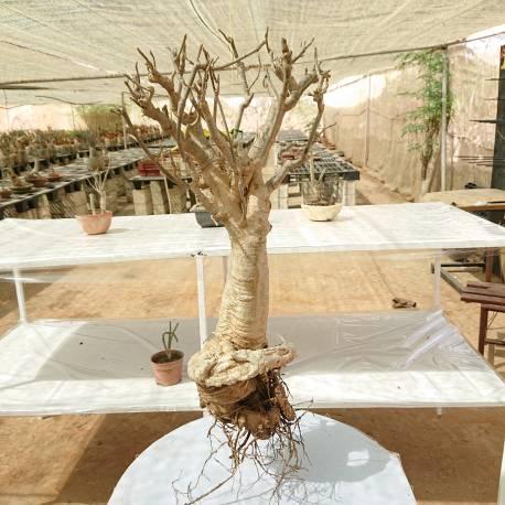 Baobab du Sénégal 6ans, 1kg,H:60, l:13