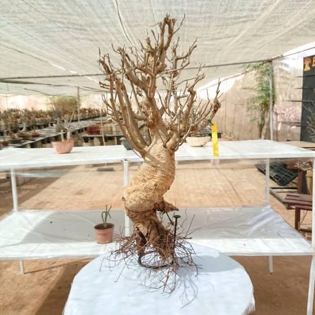 Baobab du Sénégal 6ans, 0,85kg,H:45, l:13