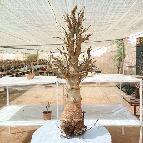 Baobab du Sénégal 6ans, 0,8kg,H:45, l:7