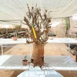 Baobab du Sénégal 6ans, 0,5kg,H:35, l:6