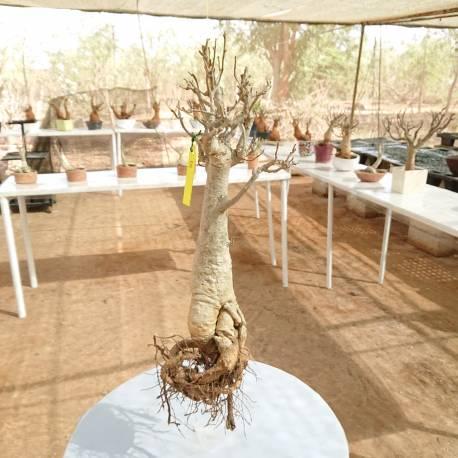 Baobab du Sénégal 6ans, 0,75kg,H:40, l:9