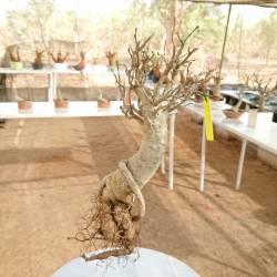 Baobab du Sénégal 6ans, 0,45kg,H:40, l:3