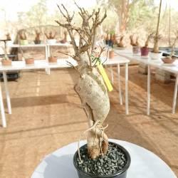 Baobab du Sénégal 6ans, 0,4kg,H:40, l:5