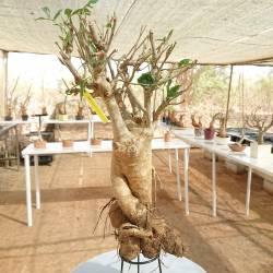 Baobab du Sénégal 6ans, 0,35kg,H:40, l:4