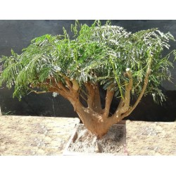 FLAMBOYANT BONSAI GROS ROUGE x 1 (photo non contractuelle)  10ans, 30kg,H:90/100, l: